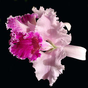 Orchid, Cattleya, Pink, Exotic, Light, Nature, Flower