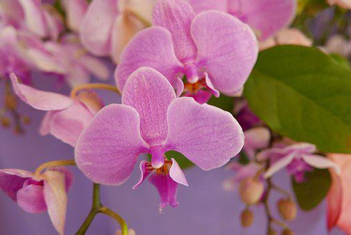 Flowers, Orchid Flower, Pink, Pink Flower, Nature