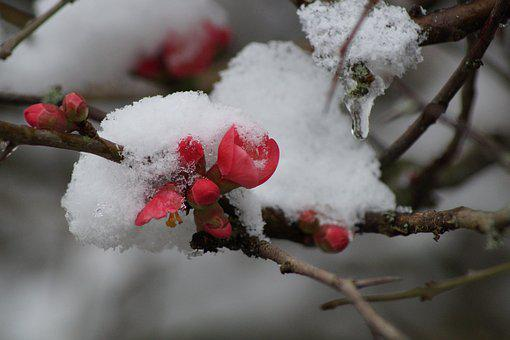 Flower, Snow, Winter, Spring, Flowers, Plants, Cold