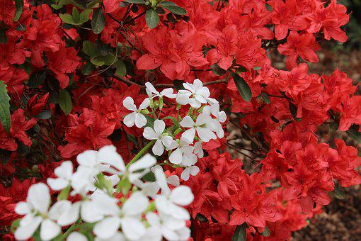 Red, White, Azalea, Nature, Blossom, Bloom, Spring