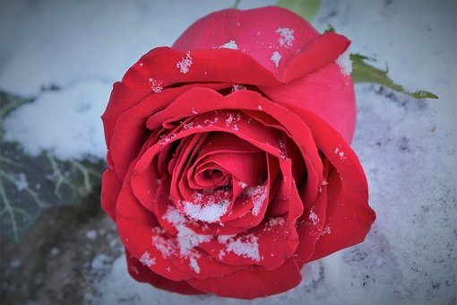 Red Rose In Snow, Winter, Romantic, Snowflakes, Frozen