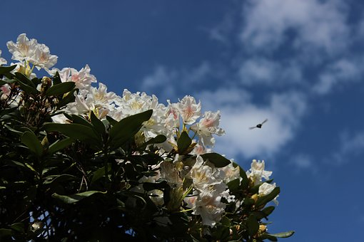 Rhododendron, White, Sky, Nature, Spring, Garden