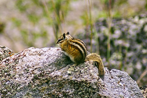 Devils Tower Chipmunk, Animal, Rodent, Chipmunk, Nature