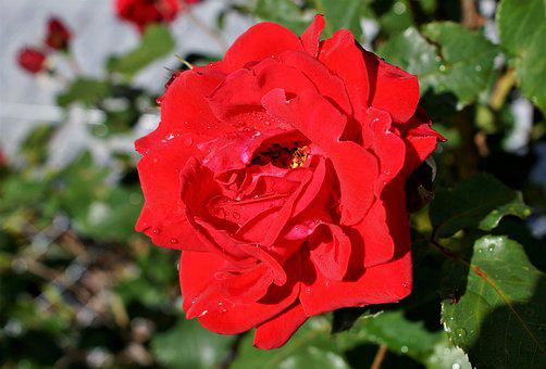 Rose, Rose Bloom, Floribunda, Bouquet Of Roses