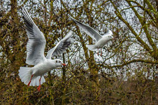 Gull, Bird, Seagull, Flying, Freedom, Animal, Nature