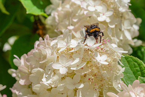 September Hydrangea, Bumble-bee, Summer, Flower, Insect