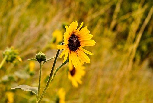 Common Sunflower, Flowers, Sunflower, Bloom, Yellow