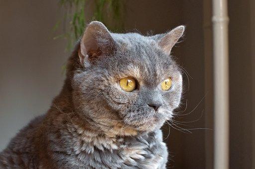 Cat, View, Head, British Shorthair, Selkirk Rex