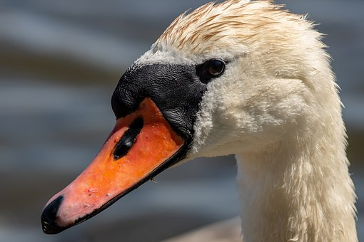 Swan, Waterfowl, Water, Summer, Beautiful, Nature, Bird