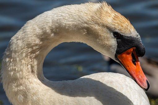 Swan, Waterfowl, Water, Summer Beautiful, Nature, Bird