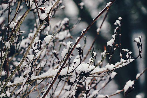 Branches, Snow, Snowy, Winter, Cold, Snow Cover, Frosty
