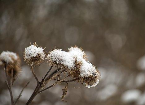 Winter, Snow, Sting, Thistle, Cold, Nature, Landscape