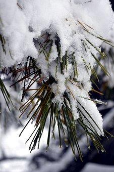 Snow, Pine, Winter, Cold, Seasonal