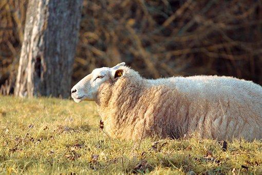 Wool Sheep, Sheep, Schäfchen, Wool, Evening Sun, Young