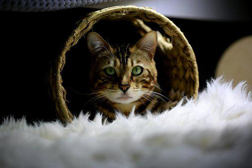 Cat, Bengal, Cat Photo, Bengal Cat, Pets, Animal