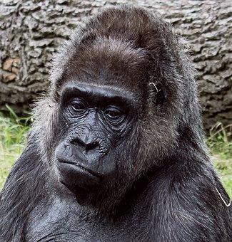 Gorilla, Mammal, Animal, Animal World, Monkey, Portrait