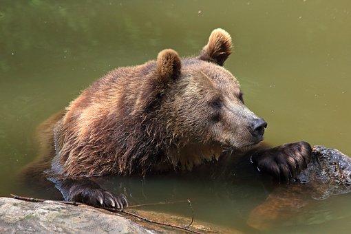 Bear, Brown Bear, Wild Animal, Hot Summer, Bear Heat
