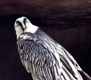 Bearded Vulture, Vulture, Bird, Bird Of Prey, Feather
