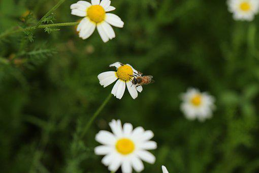 Bee, Flowers, Wild Flowers, Chamomile, Bloom, Meadow