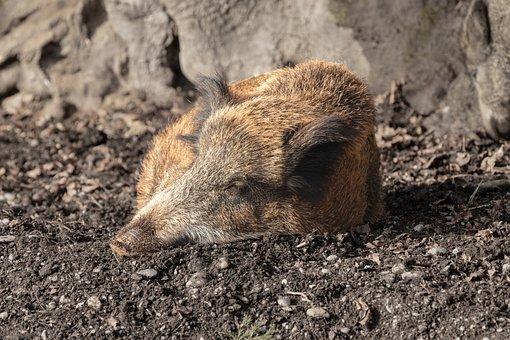 Boar, Animal, Pig, Nature, Sow, Mammal, Bristles