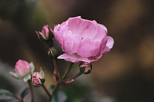 Rose, Pink, Bud, Rose Bloom, Rose Bud, Close Up