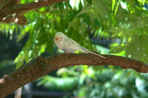 Budgie, Bird, Parakeet, Parrot, Bill, Sababurg Castle