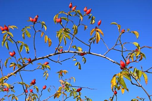 Rose Hip, Seeds, Wild Rose, Fruits, Roses, Bush