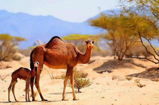 Camels, Desert, Arabia, Sand, Animal, Sky, Nature, Dune
