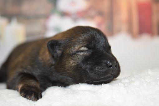 Dog, Puppy, Eurasier Puppy, New Born, Canine