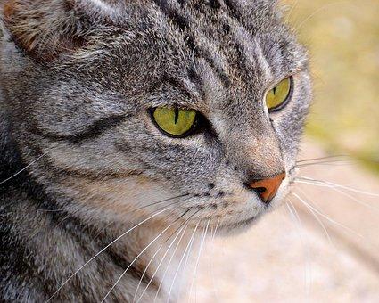 Cat, Green Eyes, Cat Face, Cat's Eyes, Wildcat