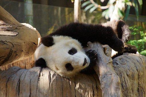 Panda, Mammal, Animal, China, Bear