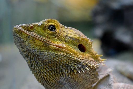 Lizard, Iguana, Animal World, Close Up