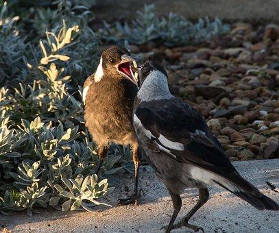 Magpies, Australian Magpies, Cracticus Tibicen, Mother