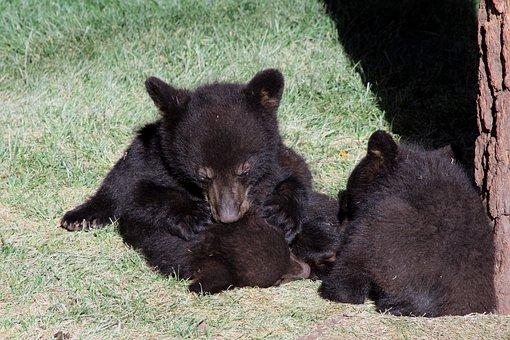 Bear, Cubs, Black, Arizona, Nature, Cub, Animal