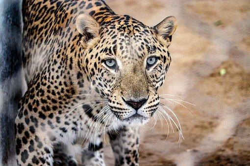 Wild, Animal, Zoo, Predator, Jaguar, Nature, Dangerous