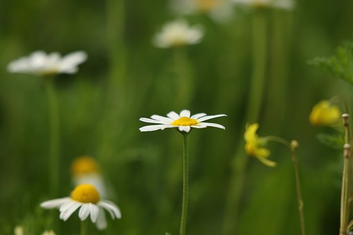 Flowers, Wild Flowers, Field, White, Chamomile, Winter