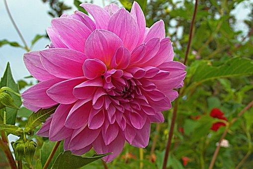 Dalia, Flower, Garden, Pink, Plant, Flora, The Petals