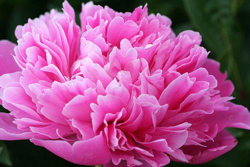 Peony, Flower, Natural, Floral, Garden, Romantic