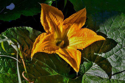 Yellow, Garden, Nature, Pumpkin Plant, Close Up