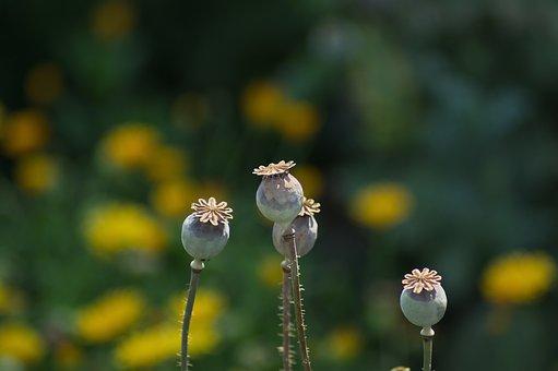 Poppies, Plant, Flowers, Nature, Flower, Poppy, Garden