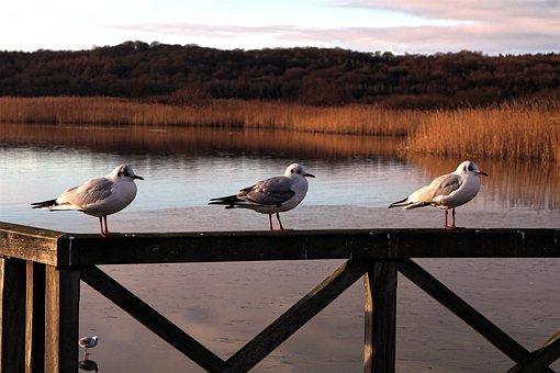 Lake, Sea, Seagull, Railing, Waters, Reed, Bird