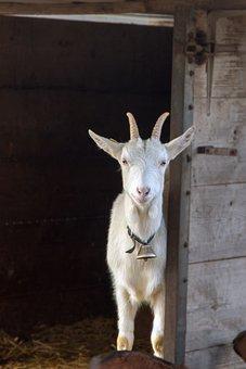 Goat, Geiss, White, Stall, Creature, Livestock
