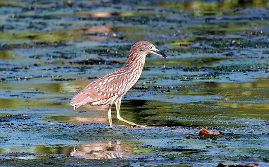 Wild, Bird, Wildlife, Wetland, Water, Mashes, Night