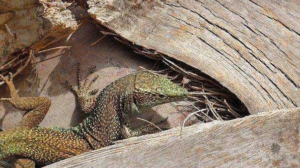 Animal, Lizard, Reptile, Scale, Creature, Nature