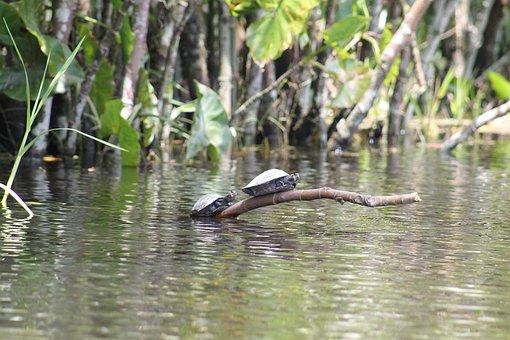 Turtles, Amazon, River, Ecuador, Landscape, Nature
