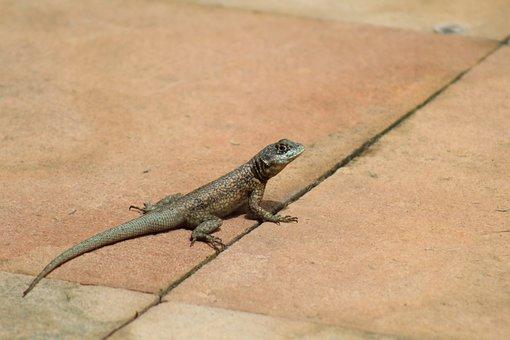Nature, Lizard, Animal, Reptile, Vertebrate, Tropical