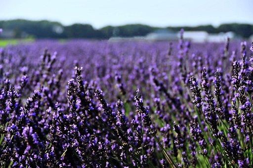 Netherlands, Holland, Lavender, Landscape, Flower