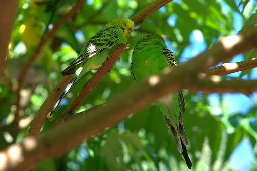 Budgie, Bill, Bird, Parakeet, Parrot, Sababurg Castle