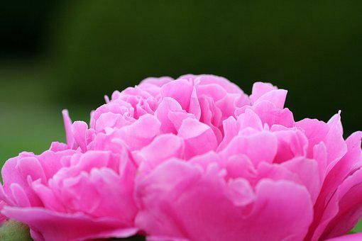 Flower, Peony, Pink, Nature, Plants, Garden, Floral
