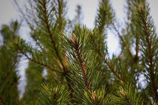 Fir Tree, Pine Needles, Conifer, Branch, Green, Winter